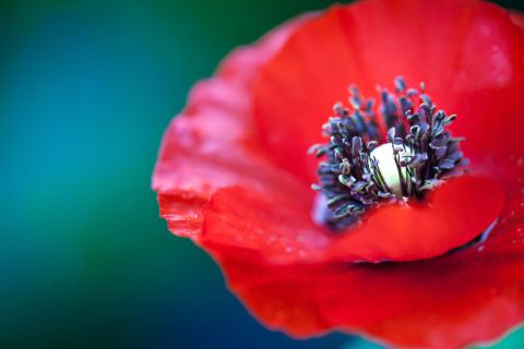 Close up shot of a red poppy